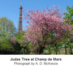 Judas Tree at Champ de Mars