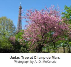 Judas Tree at Champ de Mars
